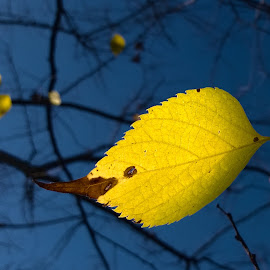 gold in the sky by Emina Dedić - Instagram & Mobile Other ( natural light, fall colors, leaf, yellow, leaves, nature photo, blue sky, colourful, radiating, nature, autumn, lovely, nature up close, nature photography, radiance, branches, birch, yellow leaf, autumn leaves, autumn colours, nature close up, autumn leaf, fall leaves, blue, fall, natural, golden )