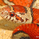 Red Milksnake