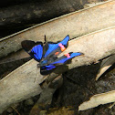 Blue Doctor - Neotropical Metalmark
