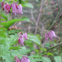 Western Bleeding Heart
