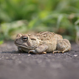 Little Frog by Shelly McAllister - Animals Amphibians
