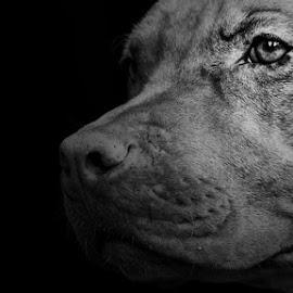 Natiral instict by Erik Nainggolan - Animals - Dogs Portraits ( canine, pitbull, apbt )