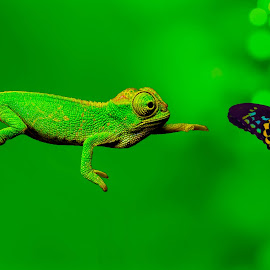 Lezard Vs Butterfly ! by Mohamed Am - Animals Reptiles ( butterfly, amzil, lezard )
