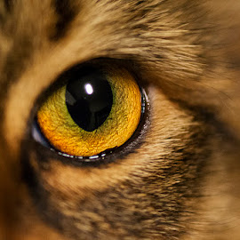 Eye of the Princess by John Music - Animals - Cats Portraits ( cat, macro, kitten, sophia, eye )