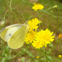 Large White Butterfly / Kupusar