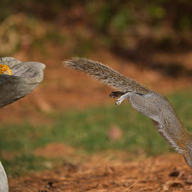 Where's The Ground? by Roy Walter - Animals Other Mammals ( other mammals, animals, wildlife, squirrel )