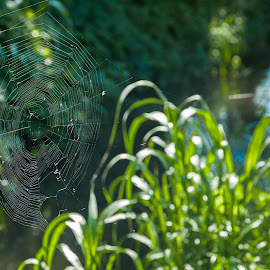 A web by Cesare Morganti - Nature Up Close Webs ( webs, nature, green, nature up close, web, spider web )
