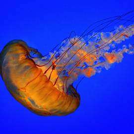 jellyfish loner by Jaki Miller - Animals Sea Creatures ( orange and blue, sea creature, ocean, under the sea, jellyfish )