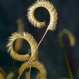 Blue Grama by Hunter Ten Broeck - Nature Up Close Leaves & Grasses ( blue grama, seed head, native, grass, curl )