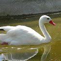 Cisne Coscoroba
