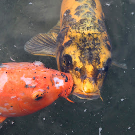 Kissing Koi by Ron Kreft - Animals Fish