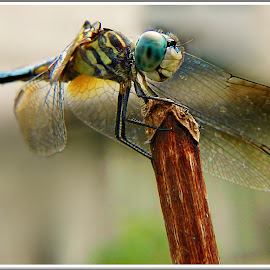 Come Fly With Me by Kathy Hancock - Animals Insects & Spiders ( macro, dragonfly, insect, blue dasher dragonfly, animal )