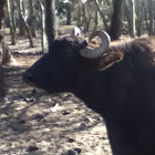 Ox, steer
