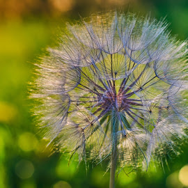 Dandelion Daydream by Adam C Johnson - Nature Up Close Other plants ( backlit, dandelion, green, evening, golden hour )