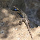 Northwestern Fence Lizard (Male)