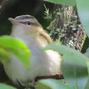 Red-eyed Vireo Immature