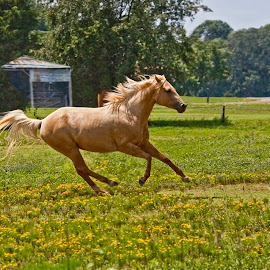 Palomino Galloping by Sandy Friedkin - Animals Horses ( field, galloping, palomino, n. carolina, horse,  )