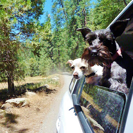 Are We There Yet? by Samantha Linn - Animals - Dogs Portraits