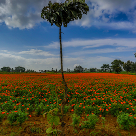 Flower Harvesting by Joydeep Bhattacharya - Landscapes Prairies, Meadows & Fields ( bangalore, harvesting, bandipur, flower harvesting, flower, karnataka )
