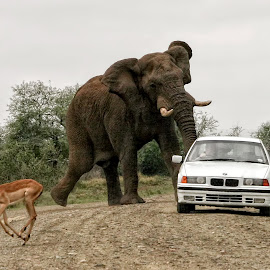 Narrow Escape by John Phielix - Animals Other Mammals ( car, mammals, animals, charge, elephant,  )