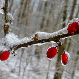 Frozen Berries by Dallas Richards - Nature Up Close Other Natural Objects ( winter, ice, trees, woods )