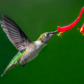 A Sip of Nectar by Don Holland - Animals Birds