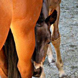 Hide'n Seek  by Teiana Bourdon - Animals Horses ( mare, baby, spring, newborn, foal,  )
