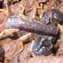 California Forest Scorpion