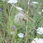 Lady Bug (Fünfpunktmarienkäfer)