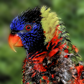 by Patrick Sherlock - Animals Birds (  )