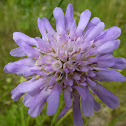 Acker-Witwenblume, Field Scabious