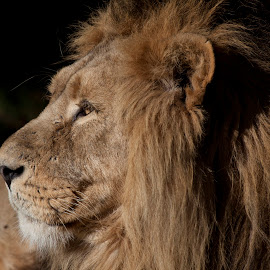 Male Lion  by Eddie Ingram - Animals Lions, Tigers & Big Cats ( majestic lion, lying down lion, side view of lion, lions mane, male lion )