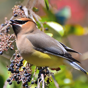 Cedar Waxwing by Patricia Warren - Animals Birds ( winter bird, wildbird, nature, avian, wildlife, brown, yellow, cedar waxwing, berries, waxwing )