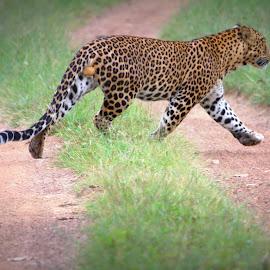 leopard by Prajwal Rajappa - Animals Lions, Tigers & Big Cats
