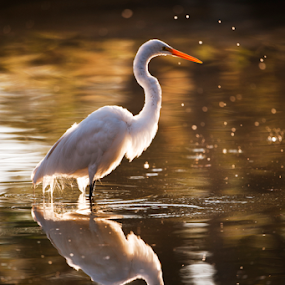 Heron with reflections by Cristobal Garciaferro Rubio - Animals Birds ( water, lagoon, reflections, lake, heron )