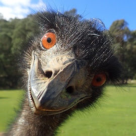 Emu by Esther Van De Belt - Animals Birds ( neck, beak, emu, feathers, big, nose, close, up, eyes,  )