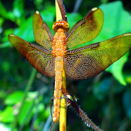 Dragonfly rest by Asif Bora - Animals Insects & Spiders