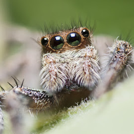 The Beauty Of The Eyes by Wilson Intai - Novices Only Macro ( macro, nature, jumping spider, spider, insect, close up,  )