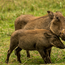 Mother and baby by Gene Myers - Animals Other Mammals ( shotsbygene, ugly, nature, mother, grass, wildlife, warthogs, baby, tusks, tanzania, gene myers,  )