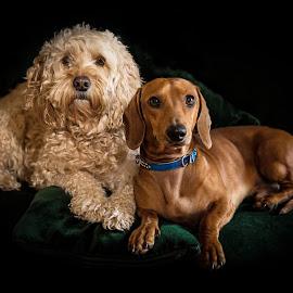 Mates by Karen Egan - Animals - Dogs Portraits ( dogs, friends, dacshund, ugo, karenjegan, portraits, dog, ollie )