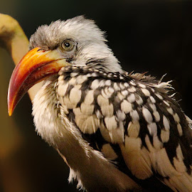 Red-Billed Hornbill by John Larson - Animals Birds