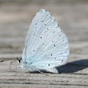 Holly Blue (Faulbaum-Bläuling)