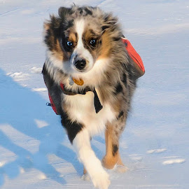 by Steve Arthur - Animals - Dogs Running ( blue eyes, australian shepherd, dog, running, aussie )