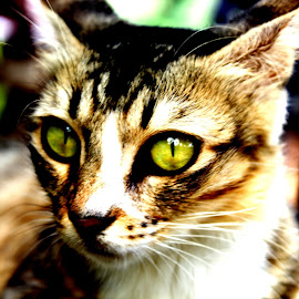 Beauty lies in the eyes by Arjun Suresh - Animals - Cats Portraits ( cuteness, dignified, attreactive, piercing, beauty, eyes )