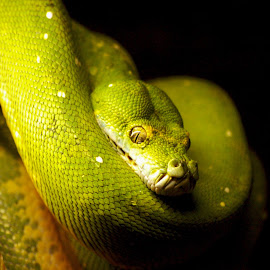 A Deadly Stare by Chris Kingdon - Animals Reptiles ( scary, snake, watching, green, eyes,  )