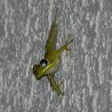 Cuban Tree Frog (juvenile)