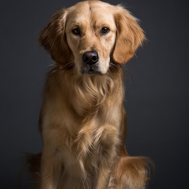 Untitled by Gerald Mabee - Animals - Dogs Portraits ( retriever, grey, dog, portrait, golden )