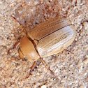 Besouro. Escarabajo. Beetle