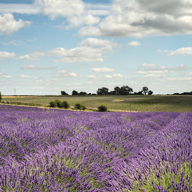 by Alan Ranger - Landscapes Prairies, Meadows & Fields ( algenon, info@alanranger.com, purple, snowshill, summer, www.alanranger.com, lavender, alan ranger, cotswolds )