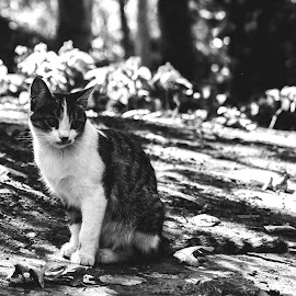 sit and look.. by Amir Hosein Ahmadi - Animals - Cats Portraits ( looking, cat, sitting, black and white, cat portrait )